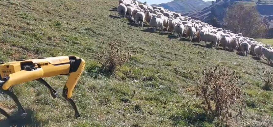 Imagem ilustrativa da notícia: Vídeo impressionante mostra cachorro robô pastoreando ovelhas