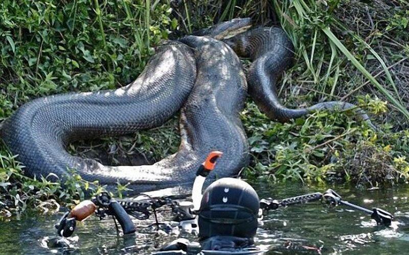 Imagem ilustrativa da notícia: Cobra gigante dá susto em mergulhadores; veja o vídeo!