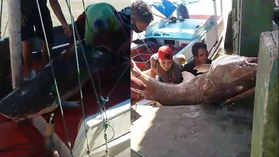 Imagem ilustrativa da notícia: Vídeo: pescadores capturam peixe gigante na baía do Marajó. Assista!