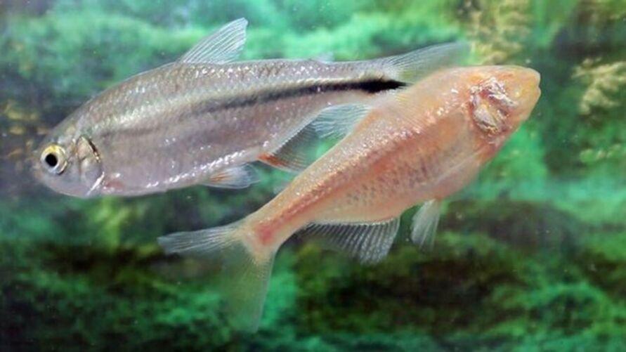 Imagem ilustrativa da notícia: Peixe pode ajudar a regenerar coração humano, diz estudo