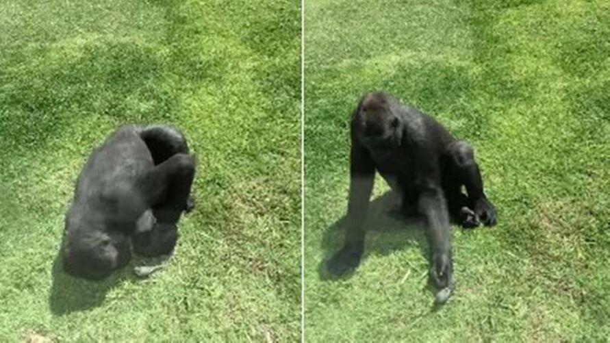 Imagem ilustrativa da notícia: Gorila é flagrado tentando ajudar pássaro ferido a voar; veja o vídeo!