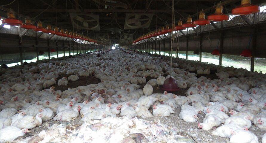 Cerca de 70 mil aves serão abatidas na Alemanha e 25 mil foram sacrificados na Dinamarca