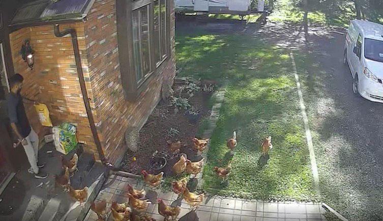 Imagem ilustrativa da notícia: Funcionário de empresa é 'atacado' por galinhas durante entrega de mercadoria