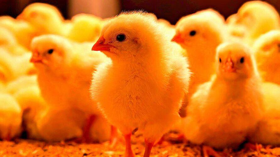 Imagem ilustrativa da notícia: Indústria granjeira paraense produziu 28 milhões de quilos de ovos por ano em 2019