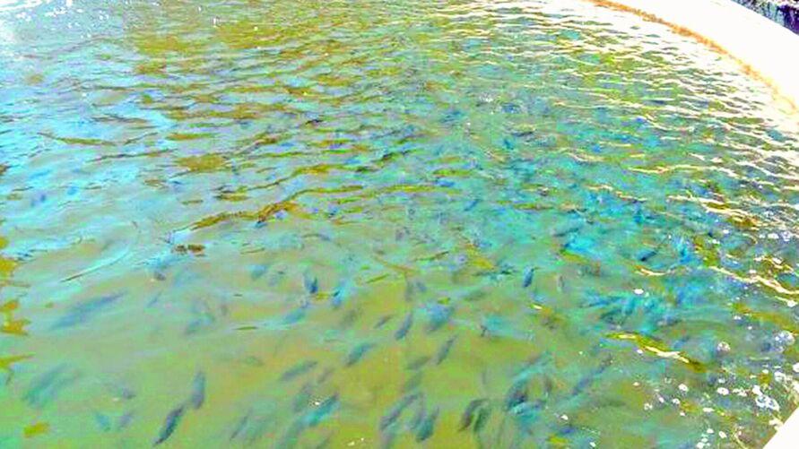 Imagem ilustrativa da notícia: Pará tem espaço favorável para a criação de pescado e ganha destaque