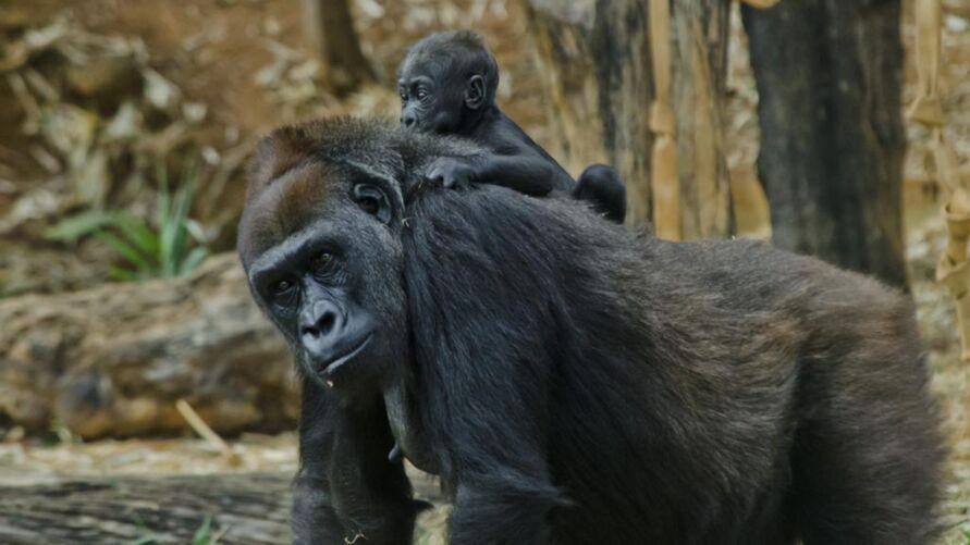 Gorilas, chimpanzés, bonobos e orangotangos compartilham mais de 95% do genoma humano
