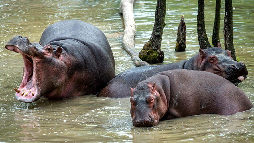 Imagem ilustrativa da notícia: Hipopótamos de Pablo Escobar devem ser sacrificados