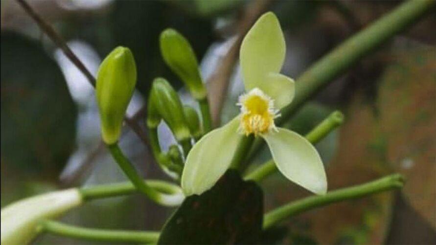 Com cinco centrímetros, a espécie Vanilla labellopapillata é mais um exemplo da rica biodiversidade das Unidades de Conservação (UCs)