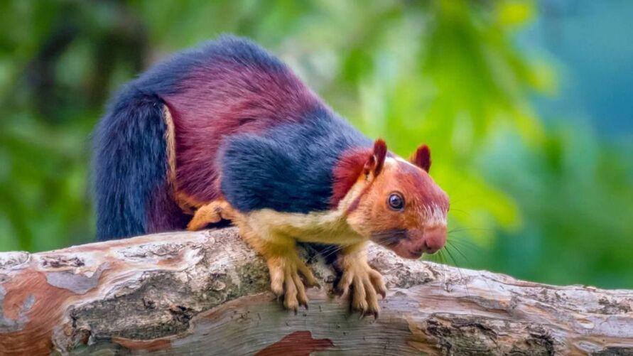 Imagem ilustrativa da notícia: Esquilos gigantes e coloridos são encontrados em florestas da Índia