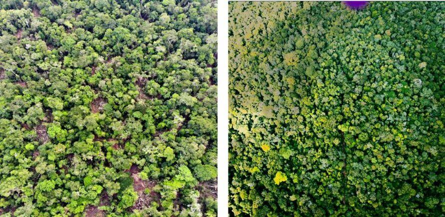 À esquerda, é possível visualizar uma área durante uma exploração através do manejo florestal sustentável e, à direita, outra área regenerada apenas cinco anos após atividade