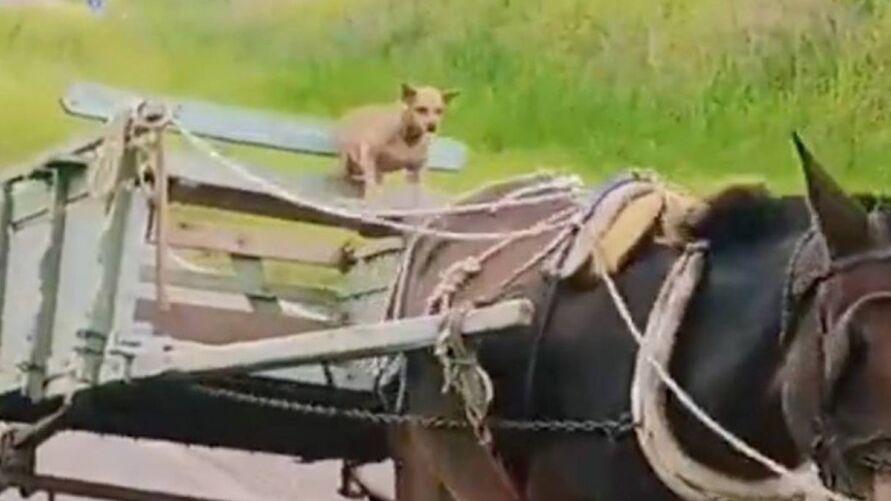 Imagem ilustrativa da notícia: Cachorro que pilota charrete faz sucesso na web. Veja o vídeo!