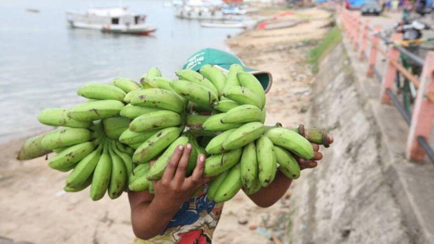 Imagem ilustrativa da notícia: Pará produz 380 mil toneladas de banana