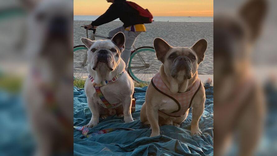 Imagem ilustrativa da notícia: Cachorros de Lady Gaga são devolvidos ilesos após serem roubados nos EUA