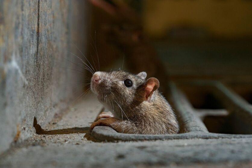 Os ratos são flagrados frequentemente pelos moradores