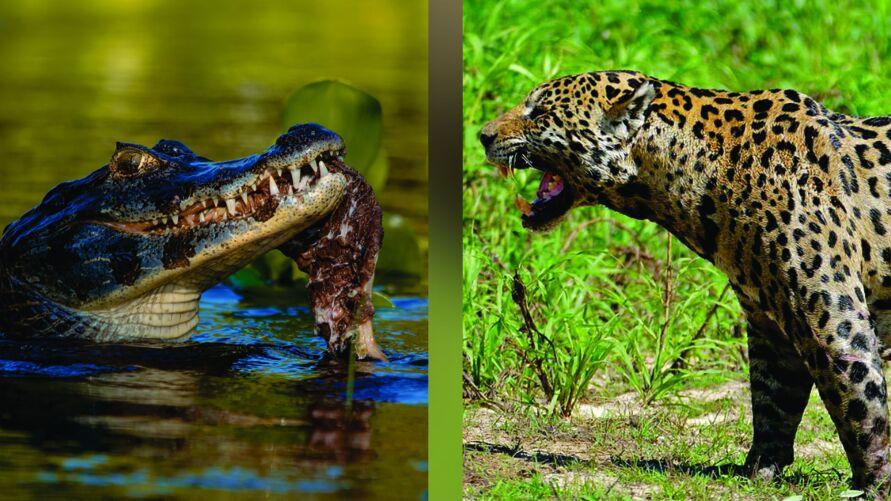 Luta entre animais foi filmada no Pantanal