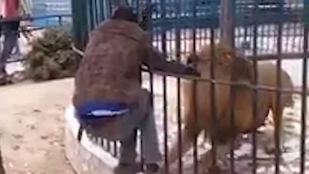 Leão atacando homem em zoológico