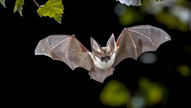 Os morcegos foram fontes nos casos do Sars-CoV e Sars-CoV-2