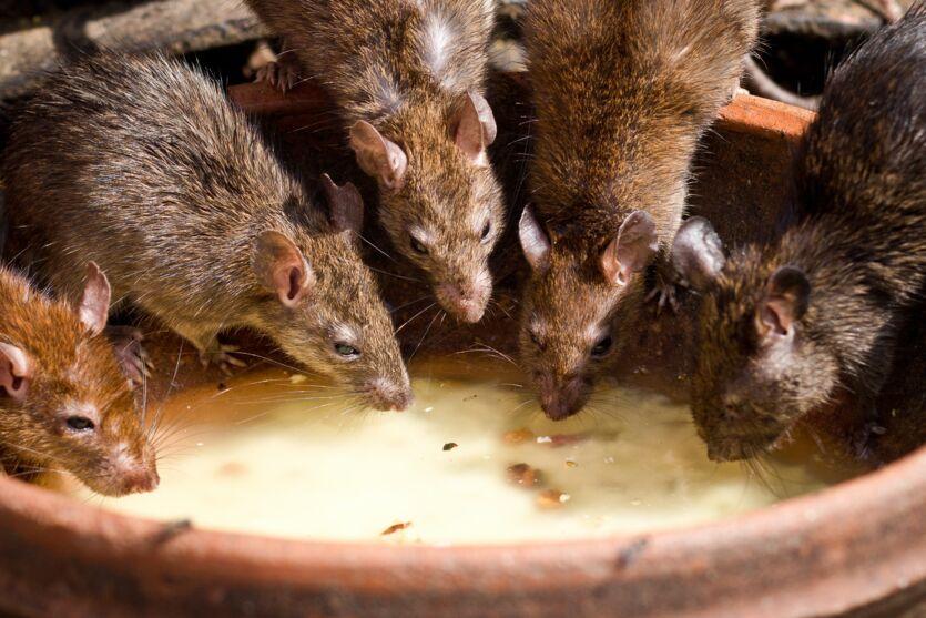 Imagem ilustrativa da notícia: Chuva de ratos vivos assusta e vídeo viraliza; assista!