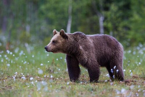 Ursos pardos são bem comuns no país asiático.
