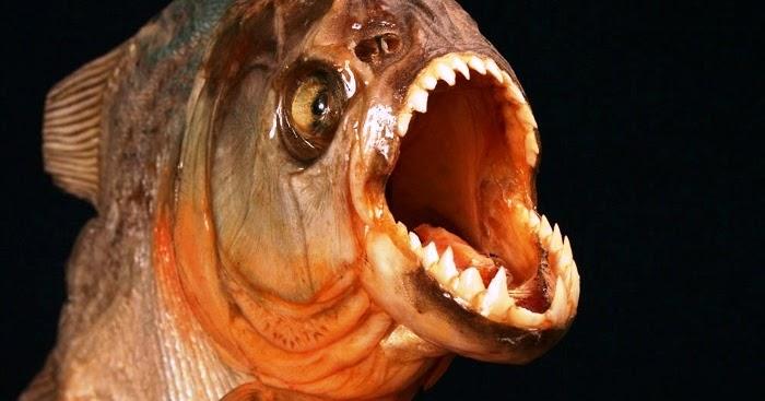 A piranha é um peixe carnívoro que geralmente ataque em cardumes