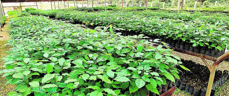 Na Hydro Paragominas, as mudas vão ajudar a restabelecer a cobertura vegetal.
