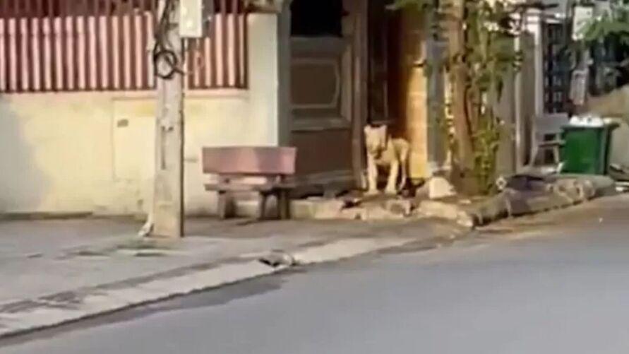 Leão andou pelas ruas da cidade do Camboja