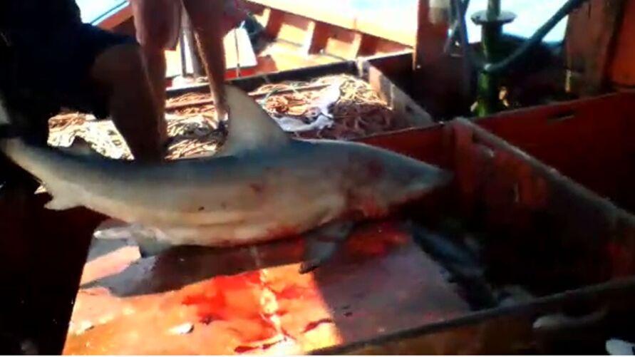 Imagem ilustrativa da notícia: Vídeo: homem é mordido por tubarão em Salinas