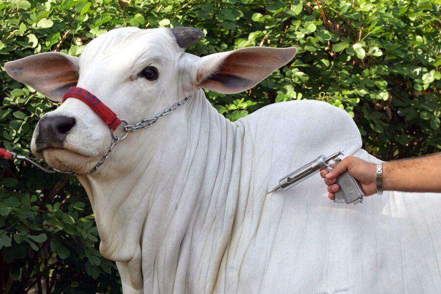 Imagem ilustrativa da notícia: Gado segue sendo vacinado contra febre aftosa no Pará