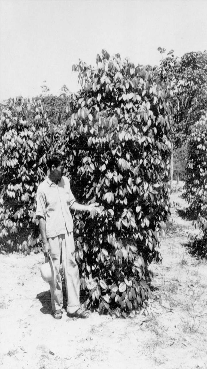 Japônes mostra sua pimenteira em Tomé-Açu