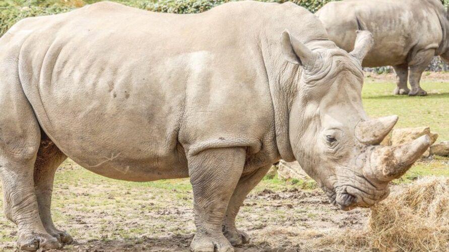 Najin (à esquerda) acompanhada da filha Fatu, as duas últimas fêmeas de rinocerontes-brancos do mundo